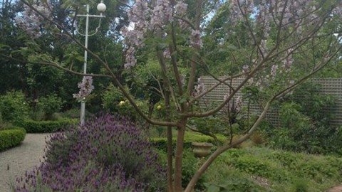 The Chinese Sapphire Dragon tree and the French Lavenders