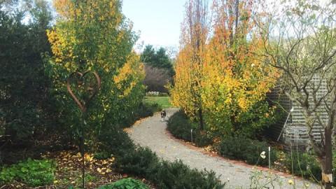 WhiteChapel's Ornamental Pear trees in their Autumn splendour!