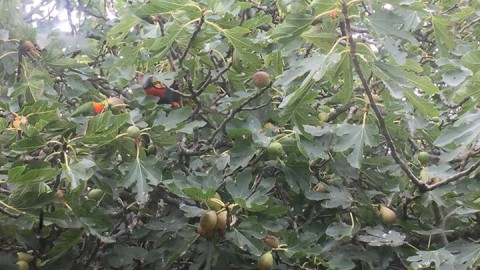 The Rainbow Lorikeets are having a wonderful feast on WhiteChapel's Fig Tree in …
